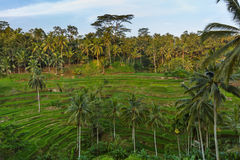 Rice fields Jatiluwih - Bali island Indonesia Royalty Free Stock Images