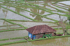 Rice fields in Jatiluwih Stock Images