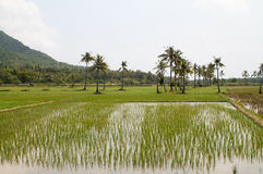 Rice fields in Java island Royalty Free Stock Photo