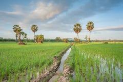 Rice fields. In karnjanadit thailand Royalty Free Stock Images