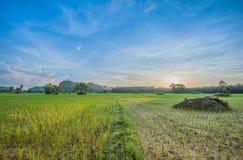Rice fields. In karnjanadit thailand Stock Image