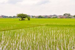 Rice fields. Landscape green natural rice fields with tree Royalty Free Stock Photo