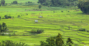 Rice fields, landscape terraced agriculture Royalty Free Stock Image