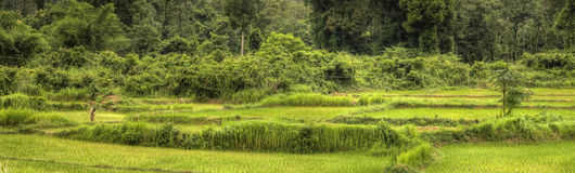 Rice Fields - Laos Royalty Free Stock Images