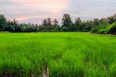 Rice fields with last light Royalty Free Stock Photo