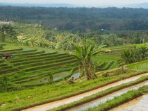 Rice paddy terrace, irrigation, palms and tropical forest in Bali, Indonesia stock photo