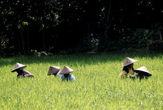 Farmers Rice field Indonesia  Royalty Free Stock Photo