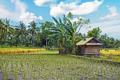 Rice fields on Lombok in Indonesia. Asia Royalty Free Stock Photography