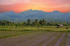 Rice fields on Lombok in Indonesia. At sunset Royalty Free Stock Photography