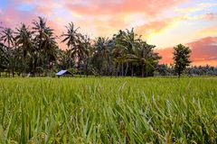 Rice fields on Lombok in Indonesia at sunset. Rice fields on Lombok in Indonesia Asia at sunset Stock Photos