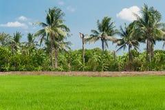 Rice fields mixtures of plant species Stock Photo