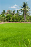 Rice fields mixtures of plant species Stock Photography