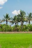Rice fields mixtures of plant species Stock Photos