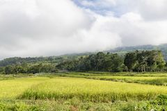 Rice fields in Moni. East Nusa Tenggara, Indonesia royalty free stock image