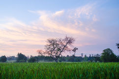 Rice fields in the morning Stock Photography