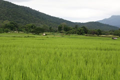 Paddy Fields. Rice fields in the morning, light green Stock Photography