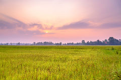 Rice fields in the morning. A peaceful rice field on sunrise sky background : Thailand Royalty Free Stock Photos
