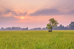 Rice fields in the morning. A peaceful rice field on sunrise sky background : Thailand Royalty Free Stock Image