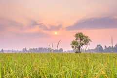 Rice fields in the morning. A peaceful rice field on sunrise sky background : Thailand Royalty Free Stock Photo