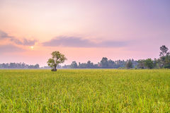 Rice fields in the morning. A peaceful rice field on sunrise sky background : Thailand Stock Image