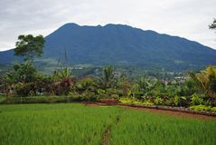 Rice fields, West Java Indonesia royalty free stock image