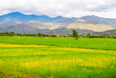 Rice fields and mountains Royalty Free Stock Images