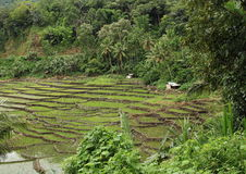 Rice fields in mountains on Flores stock images