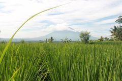 Rice Fields and Mountains royalty free stock image