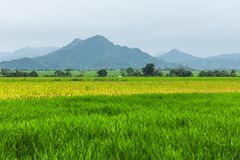 Rice fields and mountains stock images