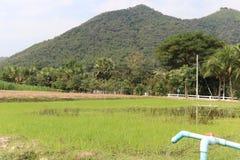 Rice fields Stock Image