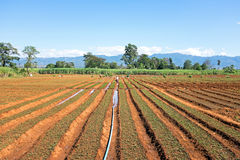 Rice fields in Myanmar Stock Photos