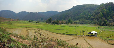Rice fields in myanmar. Terraced rice fields in the mountains of shan state, next to kyaukme, Myanmar royalty free stock photos