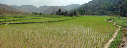 Rice fields in myanmar. Terraced rice fields in the mountains of shan state, next to kyaukme, Myanmar Stock Image