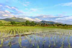Rice fields. Natural landscape of rice fields in Thailand. Start planting in June to October Royalty Free Stock Images