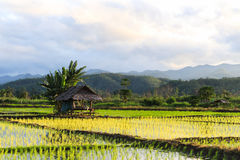 Rice fields. Natural landscape of rice fields in Thailand. Start planting in June to October Royalty Free Stock Image