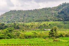 Rice fields near Bedugul in Bali, Indonesia. Royalty Free Stock Photo