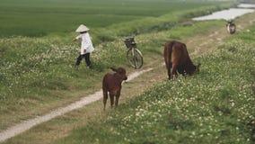 Rice fields near Hanoi stock photo