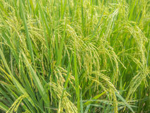 Rice fields near harvest colors. Royalty Free Stock Photos