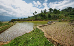 Rice fields near Limbong Stock Image
