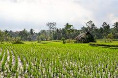 Rice fields in Bali. Rice fields near Ubud in Bali royalty free stock photos
