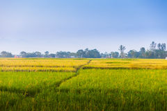 Rice fields, Nepal Royalty Free Stock Images