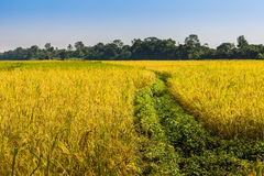 Rice fields in Nepal Stock Photography