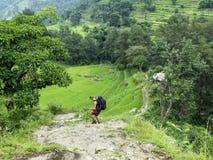 Rice fields, Nepal. Rice fields near Bahundanda village - Annapurna Circuit trek, Nepal royalty free stock images