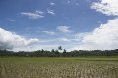 Rice fields with new paddy plantation. New rice filed that just planted with new paddy plant Royalty Free Stock Photos
