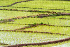 The rice fields. New rice fields in the water in Thailand Royalty Free Stock Image