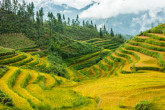 Rice fields at north Vietnam Royalty Free Stock Image
