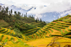 Rice fields at north Vietnam Royalty Free Stock Photos