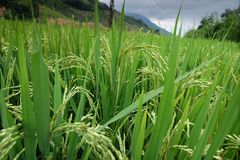 Rice fields in northern China, stunning backdrops d.y Stock Photo