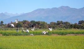 Rice Fields Of Piedmont Stock Image