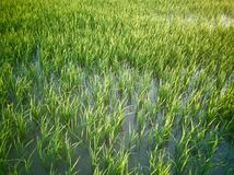 Rice fields paddy green farmer. royalty free stock image